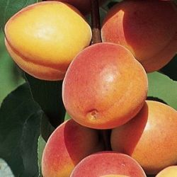 5ft 'Early Moorpark' Apricot Tree | SJA Semi Vigorous Rootstock  | 9L Pot