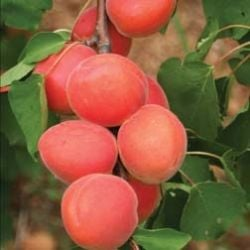 5ft 'Lilicot' Apricot Tree | SJA Semi Vigorous Rootstock  | 9L Pot
