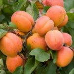 Apricot Tomcot 4.5L Patio Tree