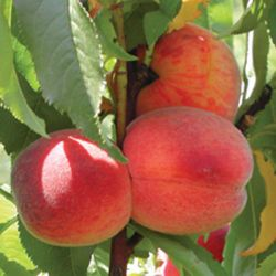 4ft Avalon Pride' Patio Peach Tree| Montclare Semi Dwarfing Rootstock  | 4.5L Pot