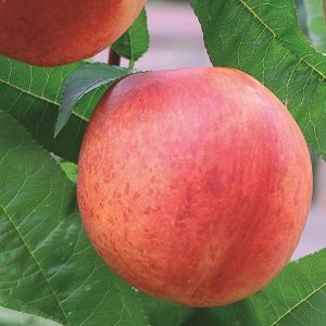 Nectarine 'Lord Napier' Tree - Prunus persica - 9L pot