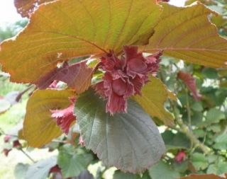 5ft 'Red Filbert' Hazel Tree | Bare Root