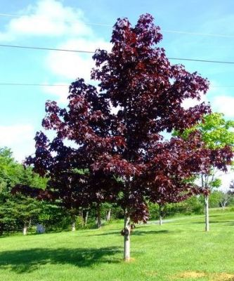Norwegian Acer 'Crimson King' 9L Pot (Acer Platanoides)