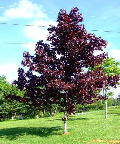 6ft Crimson King Maple Tree | 18L Pot |Norwegian Acer / Acer Platanoides