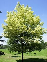 5ft Drummondii Variagated Maple Tree | 9L Pot | Norwegian Acer / Acer Platanoides