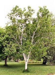 5ft Paper Birch Tree | 9L Pot | Betula Papyrifera