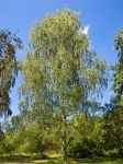 Betula pendula - Silver birch (Lady of the woods) 90-120cm Bare Root