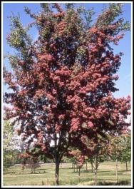 5ft Crimson Cloud Hawthorn Tree | 12L Pot | Crataegus laevigata 'Crimson Cloud' | By Frank P Matthews™