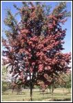 Crataegus laevigata 'Crimson Cloud' (Crimson Cloud Hawthorn) - 9L Pot