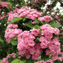 5ft Double Pink Hawthorn Tree | 9L Pot | Crataegus laevigata 'Rosea Flore Pleno'