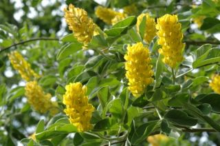 Argyrocystisus battandieri (Moroccan Broom) - 9L Pot