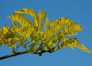 5ft Sunburst Honey Locust Tree | 9L pot |Gleditsia triacanthos f. inermis 'Sunburst'