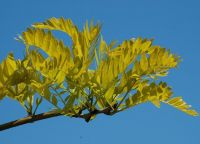 Gleditsia triacanthos f. inermis 'Sunburst' (Honey Locust Sunburst) - 9L pot