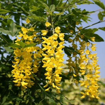Laburnum watereri Vossii (Golden Rain) Tree Bare Root