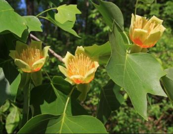 Liriodendron tulipifera (Tulip Tree) - 9L Pot