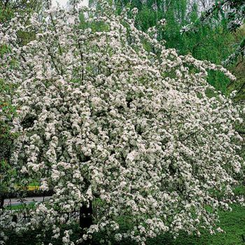 Malus 'Butterball' (Butterball Crab Apple) - Bare Root