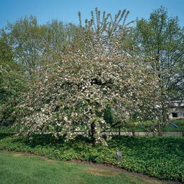 Butterball Crabapple Tree | 12L Pot | Malus 'Butterball' By Frank P Matthews™
