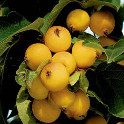 Butterball Crabapple Tree | 9L Pot | Malus 'Butterball'