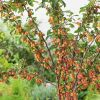 Malus 'Evereste' (Evereste Crabapple) - 9L Pot