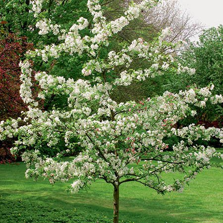 Evereste Crabapple Tree | 9L Pot | Malus 'Evereste'