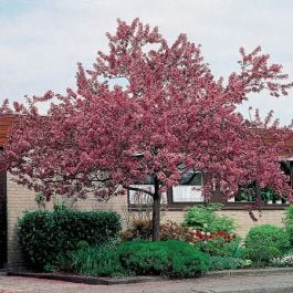 Japanese Crabapple Tree | 9L Pot | Malus floribunda