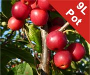 Malus x atrosanguinea 'Gorgeous' (Gorgeous Crab Apple) - 9L Pot
