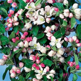 Gorgeous Crabapple Tree | 9L Pot | Malus x atrosanguinea 'Gorgeous'