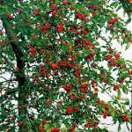 Gorgeous Crabapple 12L Pot - Malus 'Gorgeous' By Frank P Matthews™