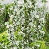 Malus 'John Downie' (John Downie Crab Apple) - 9L Pot