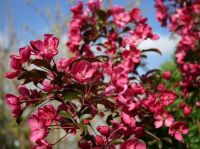 Malus x moerlandsii 'Liset' (Liset Crab Apple) - 9L Pot