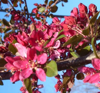 Malus x moerlandsii 'Profusion' (Crab Apple Profusion)- 9L Pot