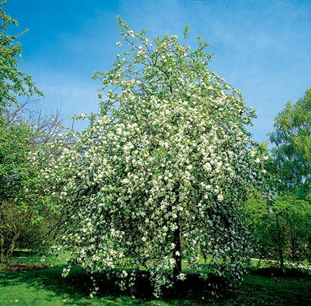 Malus 'Montreal Beauty' (Montreal Beauty) - 9L Pot