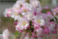Malus 'Pink Perfection' (Pink Perfection Crab Apple) - Bare Root