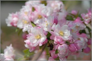 Pink Perfection Crabapple Tree | 9L Pot |Malus 'Pink Perfection'