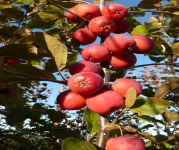Malus x purpurea 'Neville Copeman' (Neville Copeman Purple Crab Apple) - 9L Pot