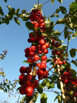 Malus x robusta 'Red Sentinel' (Red Sentinel Crab Apple) - 9L Pot