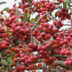 Malus x robusta 'Red Sentinel' (Red Sentinel Crab Apple) - Bare Root