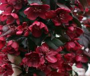 Malus 'Royalty' (Royalty Crab Apple) - 9L Pot