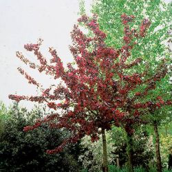 Royalty Crabapple Tree | Bare Root | Malus 'Royalty'