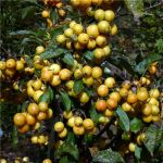 Malus x zumi 'Golden Hornet' (Golden Hornet Crab Apple) - 9L Pot