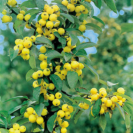 5ft Golden Hornet Crabapple Tree | 9L Pot | Malus x zumi 'Golden Hornet'