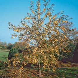 5ft Golden Hornet Crabapple Tree | Bare Root | Malus x zumi 'Golden Hornet'