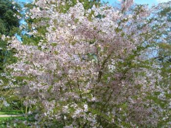 Prunus incisa 'The Bride' (The Bride Cherry) - 9L Pot
