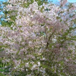 5ft The Bride Cherry Blossom Tree | Bare Root | Prunus incisa 'The Bride'