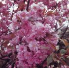 Prunus 'Kanzan' (Japanese Flowering Cherry) 1/2 Std 8/10cm 18L