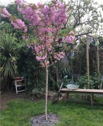 7ft 'Kanzan' Cherry Blossom Tree | 18L Pot | Half Standard | 4 Years Old