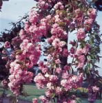 Prunus 'Kiku-shidare-zakura' (Cheal's Weeping Cherry) - Bare Root