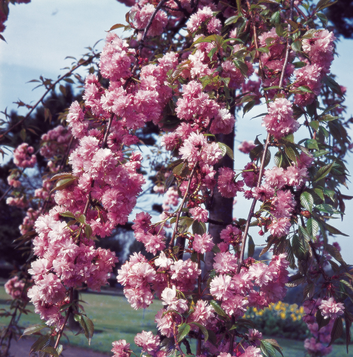 Prunus 'Kiku-shidare-zakura' (Cheal's Weeping Cherry) - 9L Pot