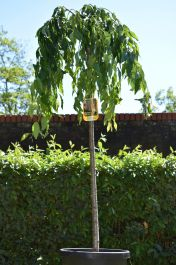 7ft Cheals Weeping Cherry Blossom Tree |18L Pot | Half Standard| 5 Years Old | Prunus Kiku-shidare-zakura