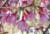 Prunus 'Okame' (Okame Cherry) - Bare Root